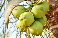 Coconut tree and coconuts under the blue sky Royalty Free Stock Image