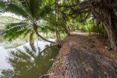 Coconut and banyan trees around the pond in Thailand countryside. stock image