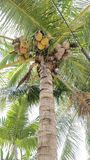 Coconut tree. The coconut tree & x28;Cocos nucifera& x29; is a member of the family Arecaceae & x28;palm family& x29; and the only species of the genus Cocos royalty free stock images