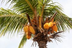 Coconut Palm or Cocos nucifera. The coconut tree or Cocos nucifera Stock Photography