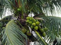 Coconut Tree (Cocos nucifera) Stock Images