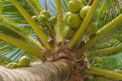The coconut tree. Stock Photography