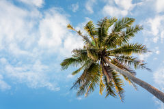 Coconut tree on daylight Royalty Free Stock Photography