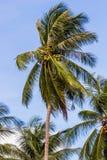 Coconut tree on daylight Royalty Free Stock Photo