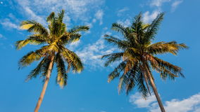 Coconut tree on daylight stock video