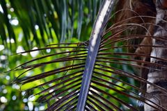 Coconut Tree died brown leaf. On green blurred background. Green leafs on background. dry palm tree leaf Royalty Free Stock Image