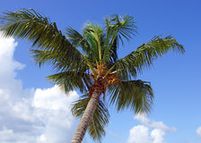 Coconut tree, Dominican Republic Royalty Free Stock Photo