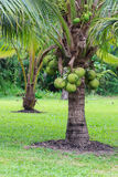 Coconut Tree, Dwarf variety in plantation. Showing green coconuts Stock Photo
