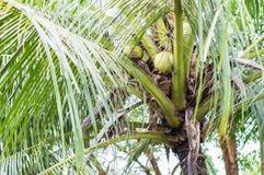 Coconut tree in farm Stock Photos