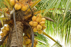 Coconut tree. Fecund.early strength royalty free stock photo