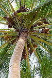 Coconut tree filled with coconuts Stock Photography