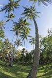Coconut tree fisheye view Royalty Free Stock Photos