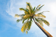 Coconut tree in front of the blue sky Stock Photography