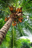 The coconut tree and fruit Stock Images