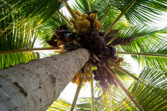 A coconut tree Stock Image