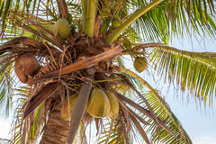 Coconut tree and fruit Royalty Free Stock Images
