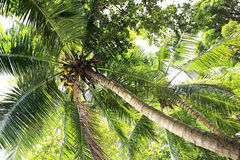 Coconut tree with fruit. Praslin Island in Seychelles Royalty Free Stock Images