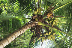 Coconut tree with fruit Royalty Free Stock Image
