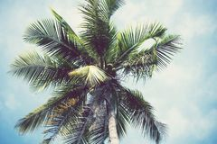 Coconut tree with fruits. Royalty Free Stock Photography