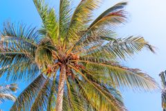 Coconut tree with coconut fruits against the blue sky. Coconut tree with coconut ts against the blue sky. Nature of the Tropics Royalty Free Stock Photo