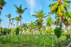 Coconut tree with fruits-coconuts,on a tropical island in the M Stock Photo