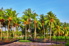 Coconut tree with fruits-coconuts,on a tropical island in the M Stock Image