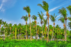 Coconut tree with fruits-coconuts,on a tropical island in the M Stock Photos