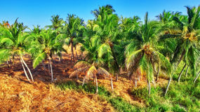 Coconut tree with fruits-coconuts,on a tropical island in the Maldives, middle part of the Indian Ocean. Royalty Free Stock Images