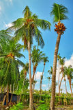 Coconut tree with fruits-coconuts,on a tropical island in the Maldives, middle part of the Indian Ocean. Stock Image
