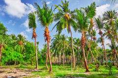 Coconut tree with fruits-coconuts,on a tropical island in the Maldives, middle part of the Indian Ocean. Stock Photo