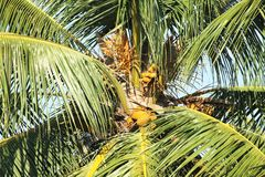 Coconut tree with fruits and flowers Stock Photography