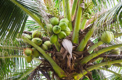 Coconut tree with fruits Stock Photos