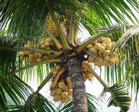 Coconut tree and fruits Stock Photography