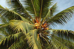 Coconut tree with fruits,tropical tree Stock Photos