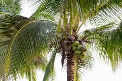 Coconut tree. Garden  asia thailand Royalty Free Stock Image