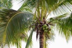 Coconut tree. Garden  asia thailand royalty free stock image