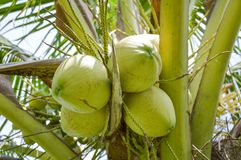 Coconut tree in garden Royalty Free Stock Images