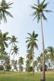 Coconut tree garden Stock Images