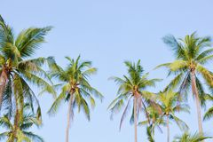 Coconut tree garden Royalty Free Stock Image
