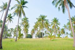 Coconut tree garden Royalty Free Stock Photos