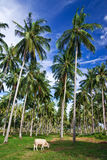Coconut tree garden, south of Thailand Royalty Free Stock Image
