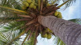 Coconut tree with green coconuts. Coconut tree with group of green ripe coconuts hanging under the big green leafs Stock Images