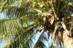 Coconut tree Stock Photo
