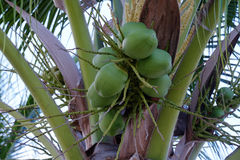 Coconut tree. Green coconuts and leaves on tree Royalty Free Stock Photography