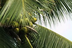 Coconut tree with green coconuts Loyalty Free Stock Photo stock photography