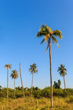 Coconut tree in green field on blue sky background Royalty Free Stock Images