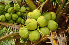 Coconut tree. Green coconut fruit on the palm tree Royalty Free Stock Photo