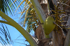 Coconut in a tree. Green coconut hanging from a tree in sunlight Royalty Free Stock Photo