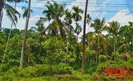 Coconut Tree. Green coconut tree in kerala morning Royalty Free Stock Image