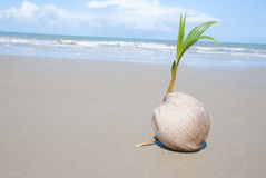 Coconut tree growing on empty tropical beach. A seed of a palm tree ( coconut ) growing on beautiful beach. There are some roots visible as well as the ocean and Stock Images